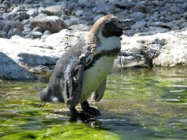 Penguin in the sun by LeFroeschle