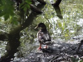 Duck beside the water by Fran48