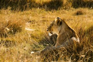 Alone old lioness by Zineb