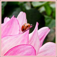 Ladybug climbing on petal by hawkeye280