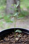 Mesquite Seedling by lamorth-the-seeker