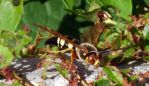 Cicada Killer Wasps 15a by Windthin