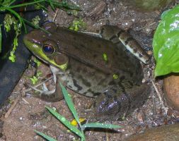 Frog Near A Pond by crotafang