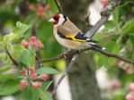 Goldfinch in the apple treee by piglet365