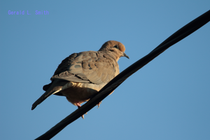 Mourning Dove 17 by Gerryanimator