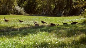 Turkeys by Overclock45