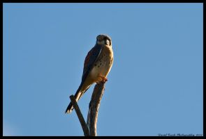New Years Kestrel 2011 by AirshowDave