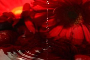 Red Gerberas + Water by TheDayILiveFor