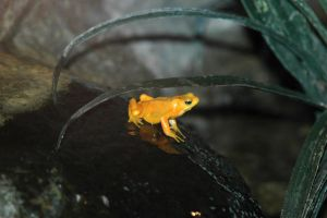 yellow dart frog by photographer1969