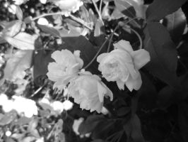 Black and White Baby Roses 2 by quidditchchick004