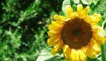 sun flower 3 by MRJelveh