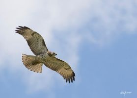 RedTail Hawk III by DGAnder