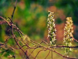 Lesser Butterfly-orchid by LordBurevestnik
