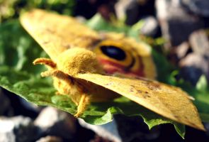 Io Moth by Meddling-With-Nature