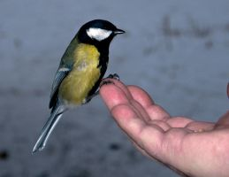 A great tit on a palm by An-Drake