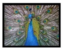 Peacock shot 1 by melancholy-spiders