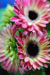Mini Pink Gerber Daisies by bloomingvinedesign