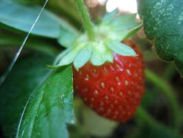 strawberry 2 by apathy-and-urgency