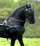 Friesian Stallion Edit by rhubarbandcustard12