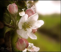 The Apple Tree by Callu