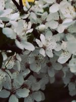 Apricot flowers. by BloodyPentagram