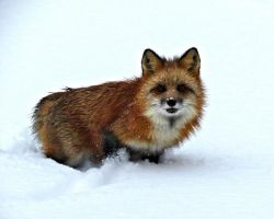 Red Fox in Snow by tracy-Me
