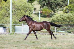 Dn black pony canter side view by Chunga-Stock
