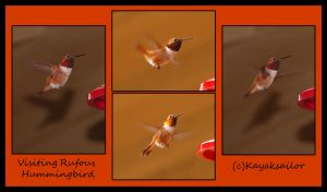 Rufous passing through by kayaksailor