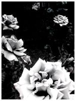 White roses.. by AlexAllykat