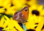 Small Heath butterfly by Mark-Allison