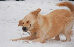 Kobi in Snow - 7 by jsmith-jc1