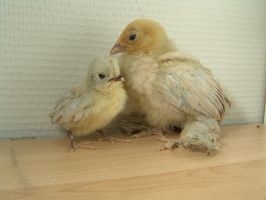 Smallest Chicken Ever by ToygerCat