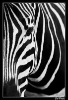 Zebra... by Seb-Photos