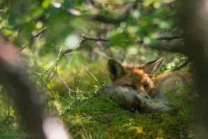 Sleeping fox by lashrasch