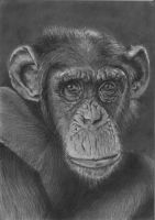 Chimpanzee by msfubli