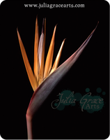 Bird Of Paradise by JuliaGraceArts