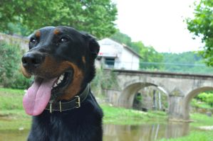 Beauceron 2 by Pocpoc