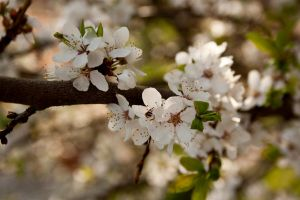 Blossoming tree #2 by theartofmike