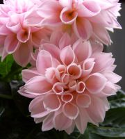 Dahlia II by miss-gardener