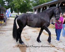 Friesian 28 by EquineStockImagery