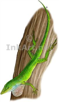 Green Anole by rogerdhall