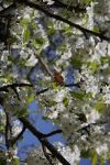butterfly on cherry blossom by Kusu-dama