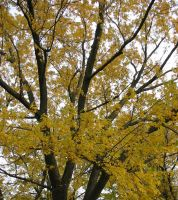 Autumn Tree by josmith