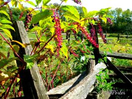 Pokeweed Berries Along the Fence by JMPorter