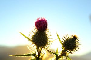 Thistle III by ADAMKH99