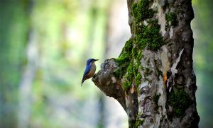 Nuthatch II by farhadvm