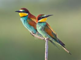 Colour match - European Bee-eater by Jamie-MacArthur