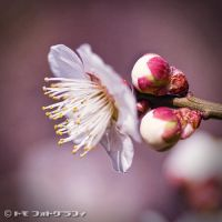 Ume by WindyLife