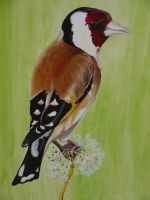Goldfinch by piratepigeon