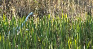 Great White Egret - trying to blend in... by gjheitz